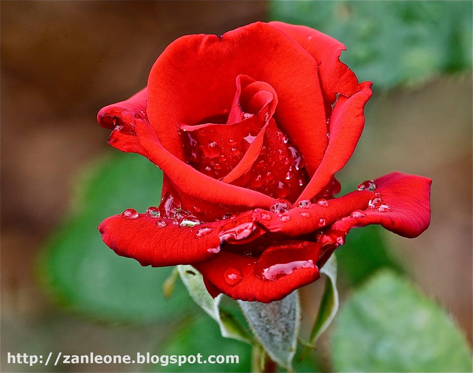 17 luglio ...una rosa in cielo - Una Nessuna Centomila